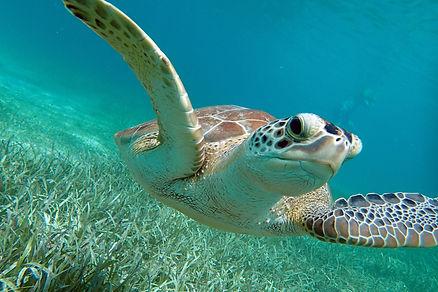 Turtle Tamarindo.jpg