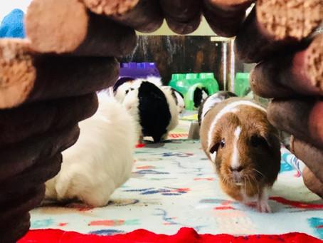 GUINEA PIGS ARE SOCIAL CREATURES
