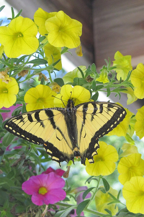 Buttonwood Butterfly