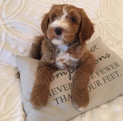 Flynn on pillow.jpg