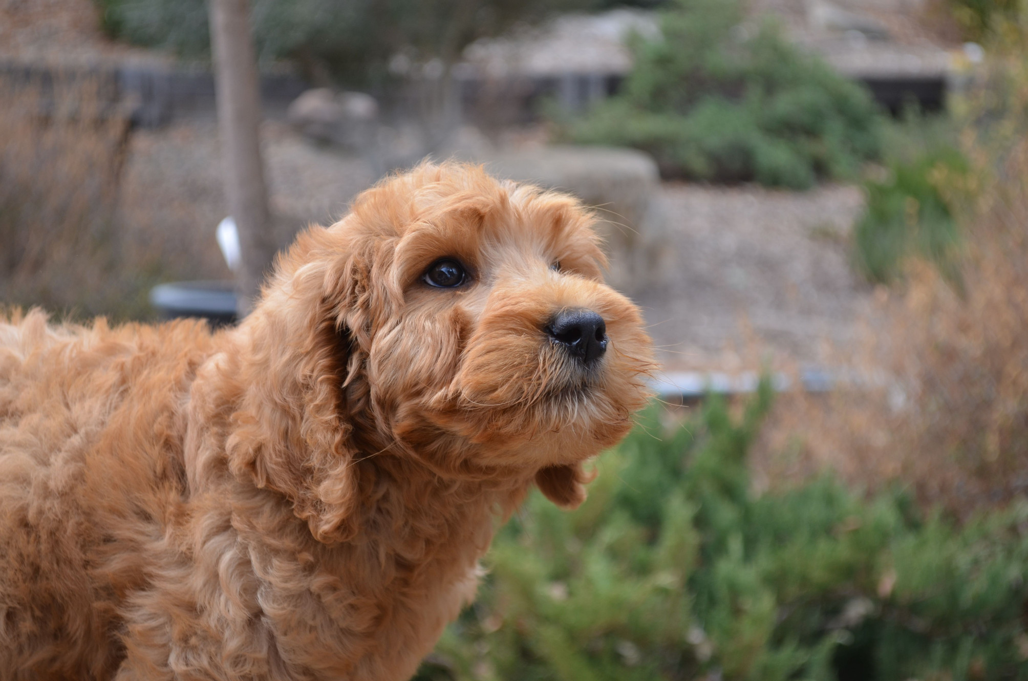 Lola's Labradoodles-Labradoodle Puppies for Sale in Florida