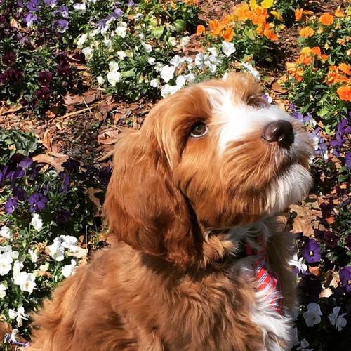 Flynn as 10 week puppy.jpg