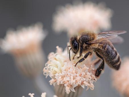 Qu'est-ce que l'abeille mange?