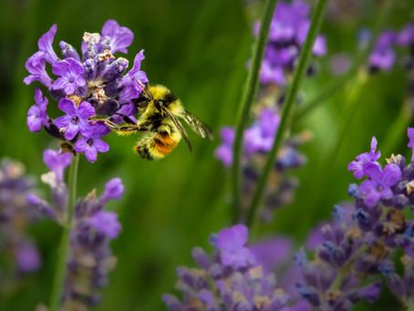 Les abeilles sauvages en Suisse