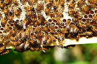 l'abeille, la ruche, l'apiculture en Suisse