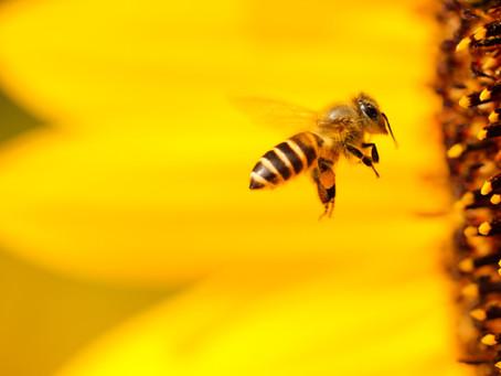 Comment promouvoir les abeilles sauvages en Suisse ?