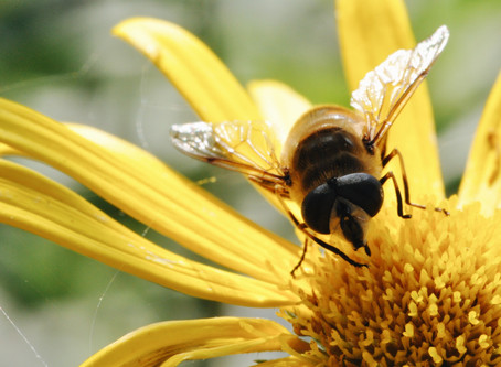 Quelles sont les espèces d'abeilles en Suisse?