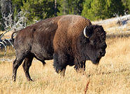 Bison in the Yellowstone national park,