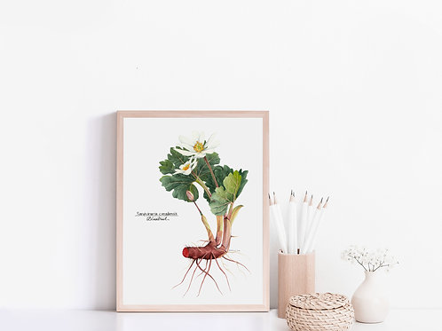 Bloodroot giclee