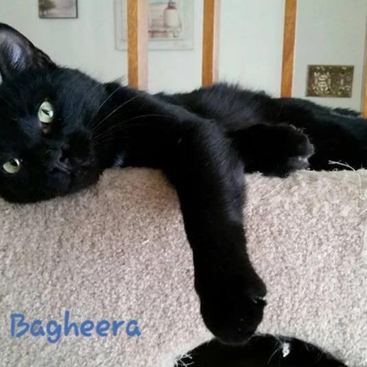 Bagheera (adopted)