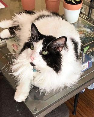 adoptable cat edmonton
