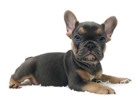 French Bulldog Rare Colors