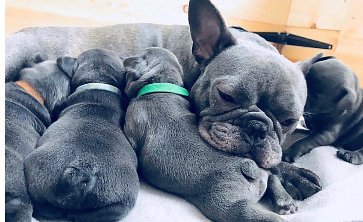 Available AKC French Bulldog Puppies | United States