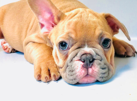 What French Bulldogs Are Made Of...