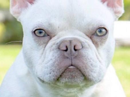 French Bulldog Puppies - COMING SOON!