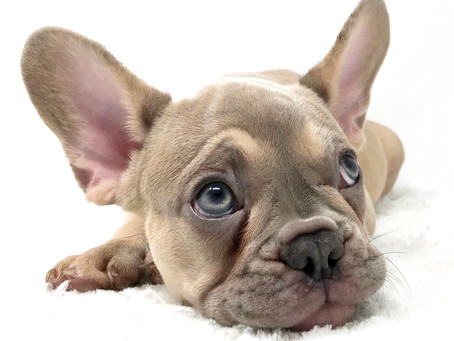 French Bulldogs Health & Fitness Tips