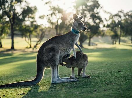 Uluru, Kangaroos and the Terania Connection