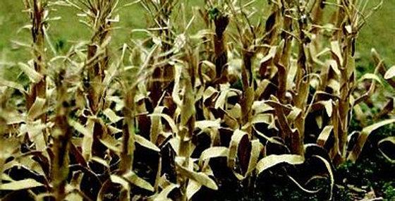 """Dried Corn Stalks 2"""" - 95589"""