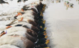 Southeast Kansas Duck Hunt