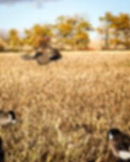 Mallard landing in field