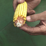 PG17: Keeping More of the Corn You Grow