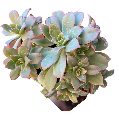"""Aeonium Percarneum (Aeonium """"Kiwi"""")"""