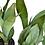Thumbnail: Sansevieria Trifasciata Moonglow (Snake Plant, Unique Variety)