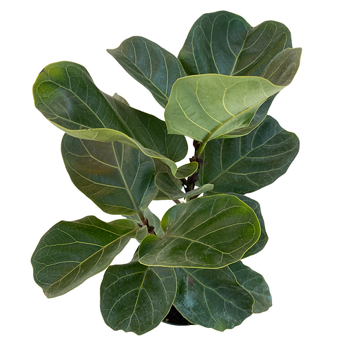 Fiddle Leaf Fig (Small)