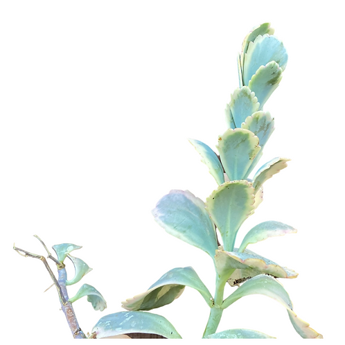 Kalanchoe Fedtschenkoi (Lavender Scallops)