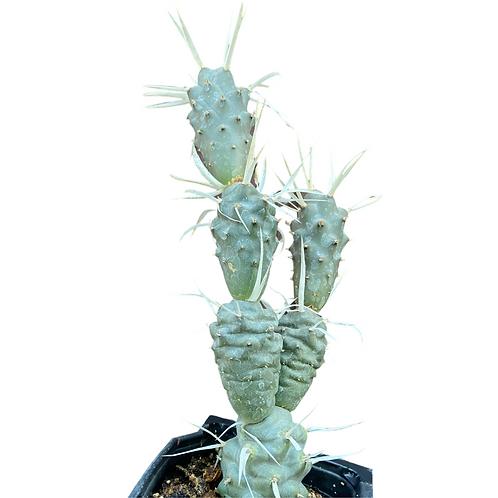 Tephrocactus Articulatus (Paper Spine Cactus)