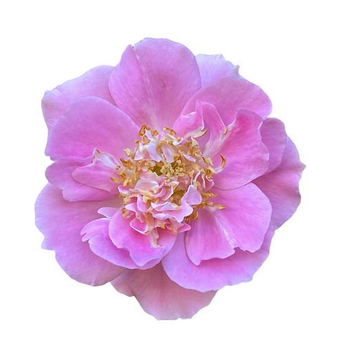 Carefree Beauty Rose Shrub