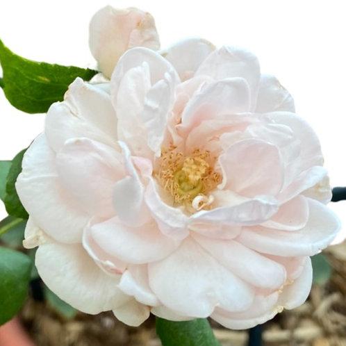New Dawn Rose Vigorous Climber