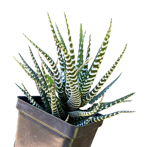 Haworthia Fasciata (Zebra Plant)