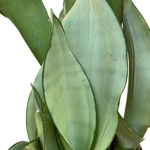 Sansevieria Trifasciata Moonglow (Snake Plant, Unique Variety)