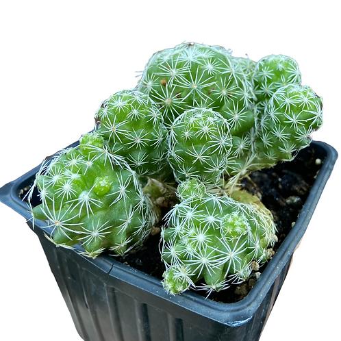 Mammillaria Gracillis Fragilis (Thimble Cactus)