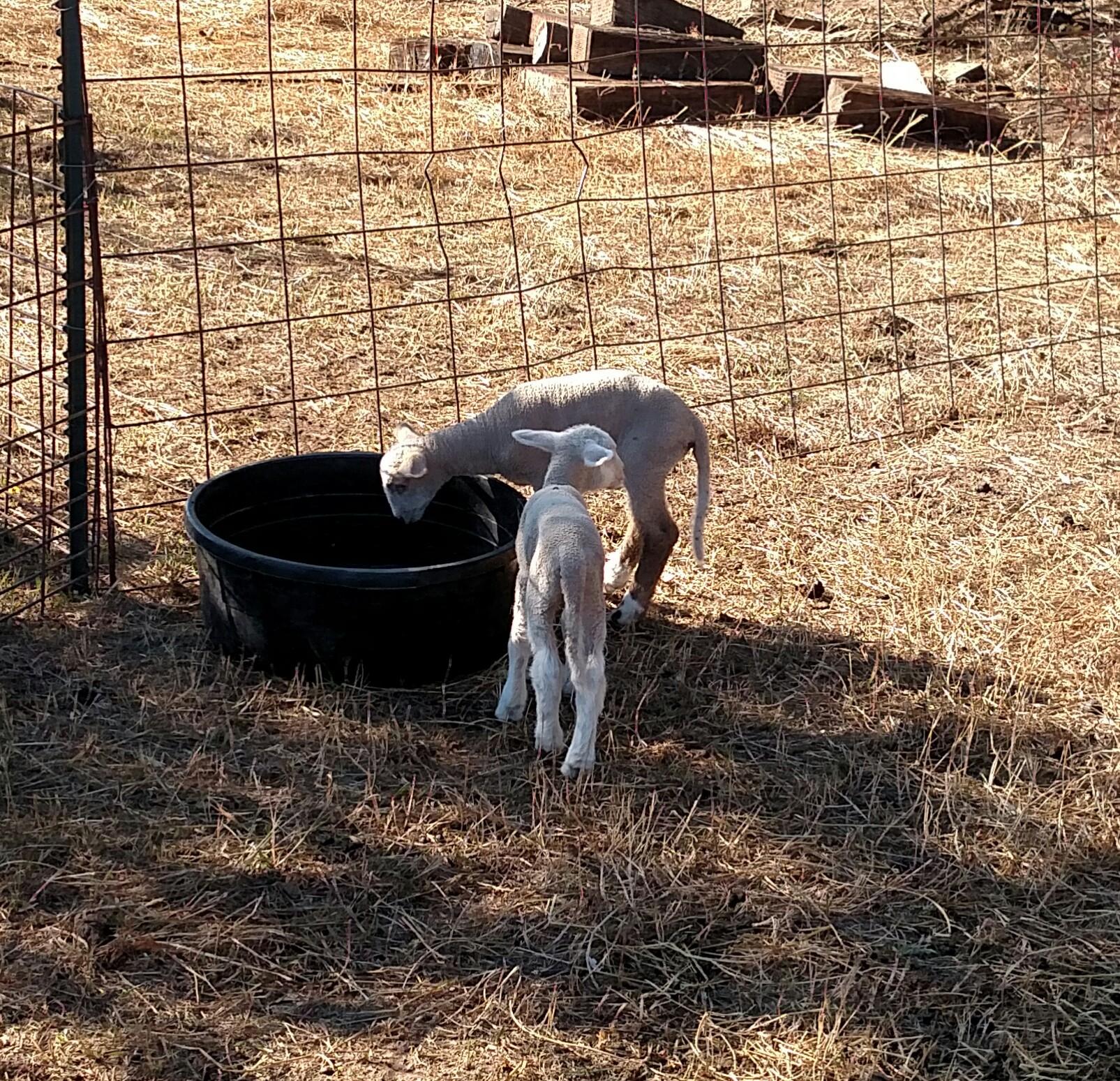 Newborn Lambs at Svaty's Produce