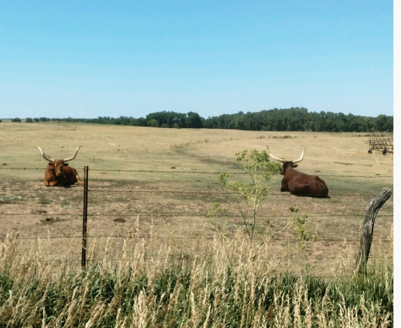 Longhorns north of Ellsworth