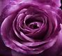 Purple Rose 2.png