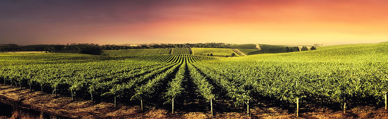 Vineyard, sunset, vines, beautiful scenery, majestic wines, local wine delivery, grapes, great wine deals, online wine retailer