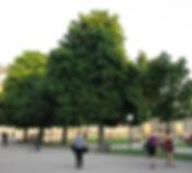 Mit Wurzelbrücken sanierte Kastanien auf dem Schloßplatz in Stuttgart