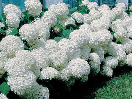 Wondering when is the best time to prune your hydrangea?