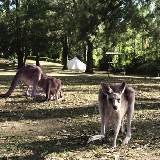Kangaroo-cattai-37.jpg
