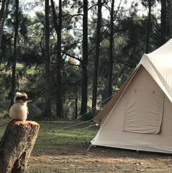 kookaburra at Cattai by the river