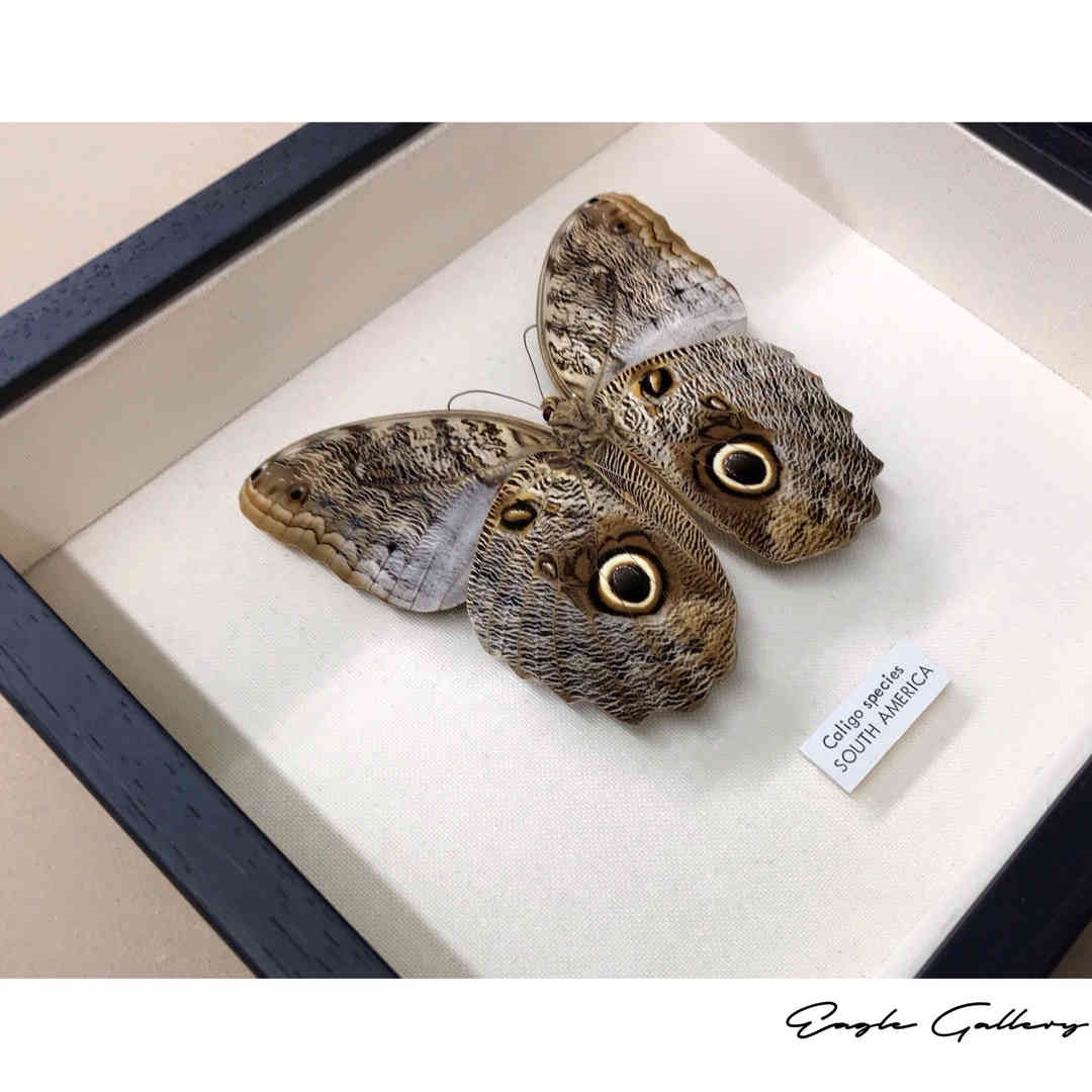butterfly framing