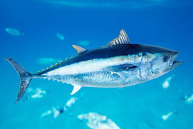 blue-fin-tuna-in-the-ocean.jpg