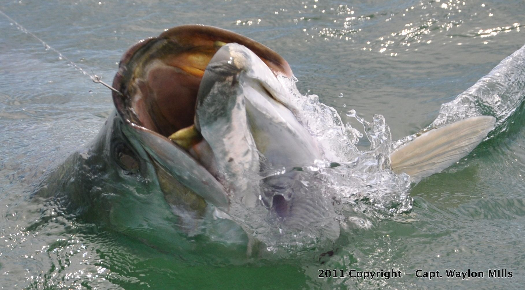 Tarpon in waterline