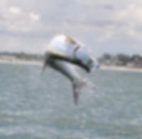 Tarpon Jumping.jpg