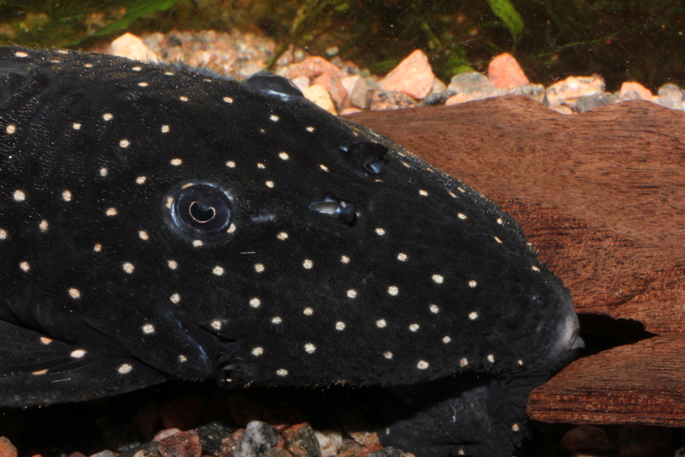 Leporacanthicus sp. L241