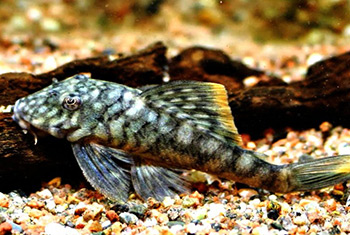 Guyanancistrus guahiborum L106