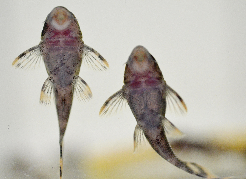 Peckoltia sp. L76